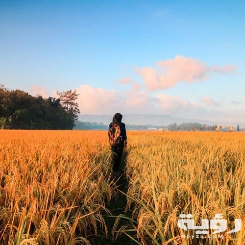 تفسير رؤية قش الأرز في الحلم