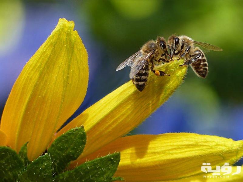 تفسير رؤية لدغ النحل في الحلم