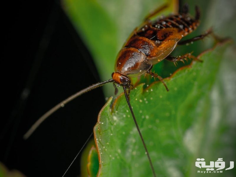 تفسير رؤية الصراصير الكبيرة في الحلم