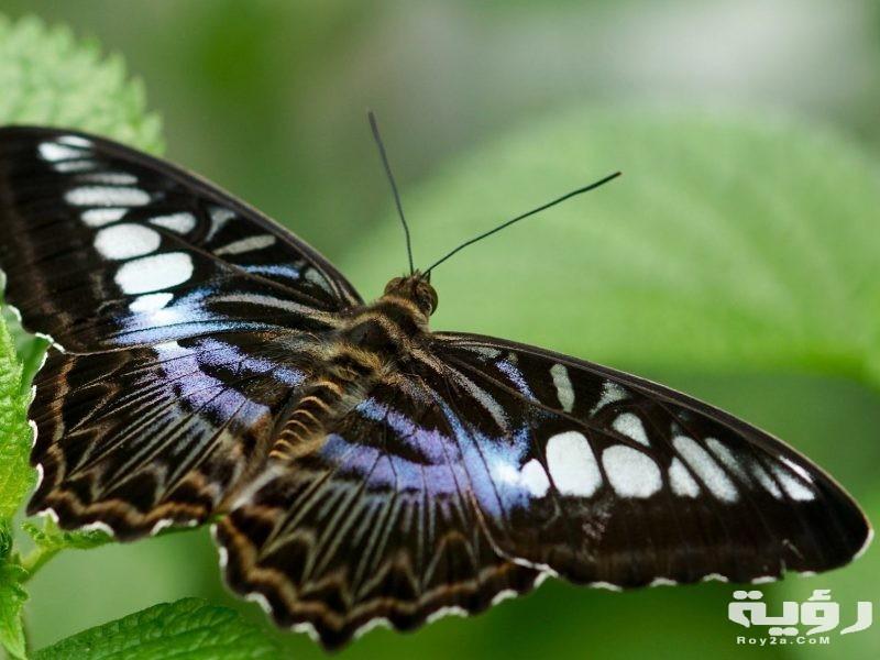 تفسير رؤية الفراشة في الحلم