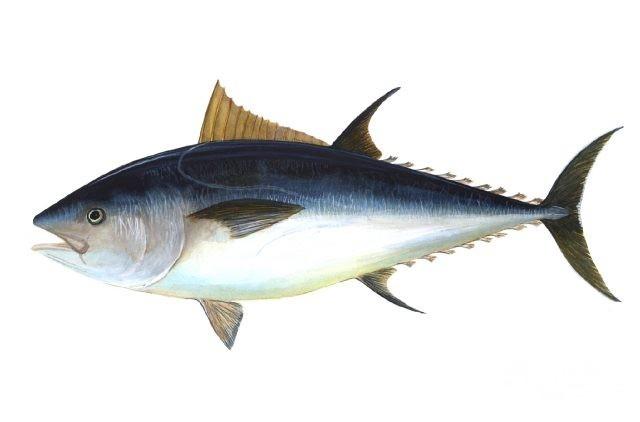 تفسير رؤية سمك التونة في المنام