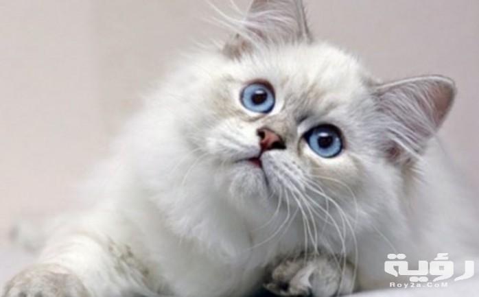 تفسير رؤية القطط البيضاء