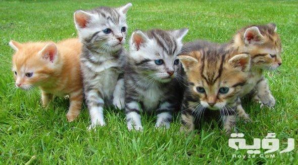 تفسير رؤية قطط صغيرة ملونة