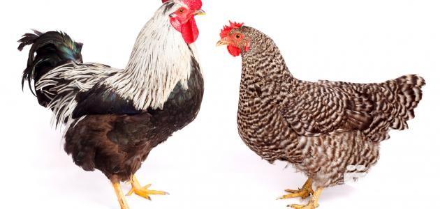 تفسير رؤية الدجاج