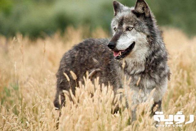 تفسير رؤية الذئب في الحلم